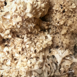 cauliflower mushrooms