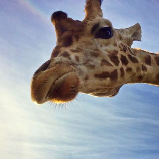 giraffe at b bryan preserve 1