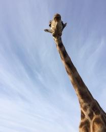 giraffe at b bryan preserve
