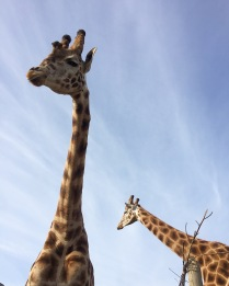 giraffes at b bryan preserve 1