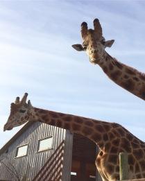 giraffes at b bryan preserve