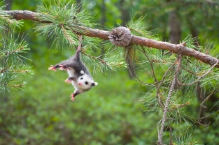 """Baby Opossum, Pine Barrens, New Jersey"""