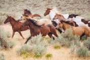A horse roundup on the open range.
